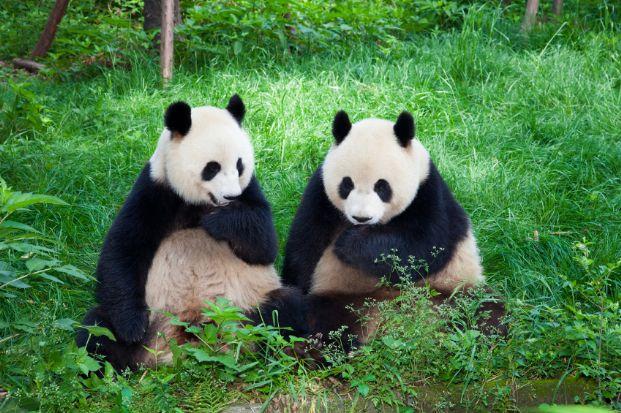 Panda-Pairi-Daiza-2014-2